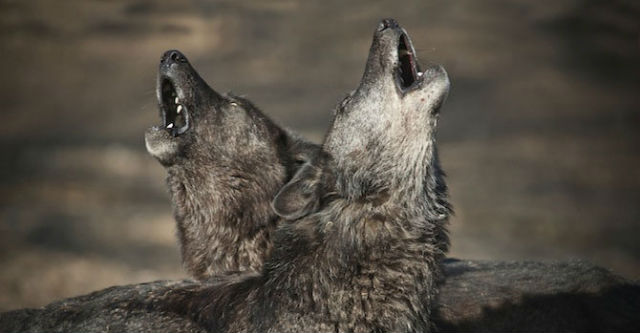 Вой волка – единственная реакция, свидетельствующая об особых отношениях с кем-то из сородичей (фото Mazzini et al.).