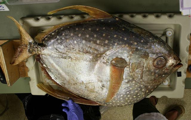 Солнечная рыба, отравленная ртутью (фото C. Anela Choy).