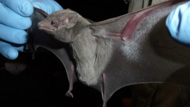 По данным исследований, летучие мыши являются переносчиками вируса, вероятно, родственного смертельному РВК-коронавирусу (фото Jonathan H. Epstein/EcoHealth Alliance 2013).