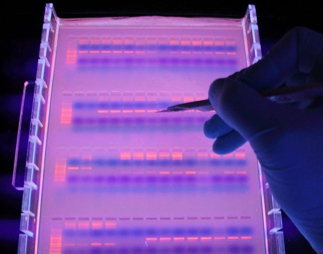 Учёные использовали ядерную и митохондриальную ДНК 64 особей свиней (фото Graduate School Human Development in Landscapes).