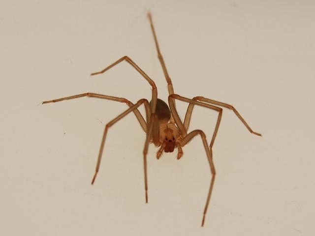 Коричневый паук-отшельник обитает на востоке США (Matt Britt / Wikimedia Commons).
