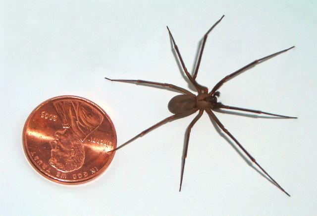 Размах ног паука не превышает 20 сантиметров (фото Br-recluse-guy / Wikimedia Commons).
