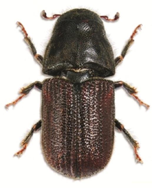 Горный сосновый лубоед – вид, который прежде никогда не добирался до умеренной зоны тихоокенского побережья Северной Америки (фото Steve Clarkson / Wikimedia Commons).