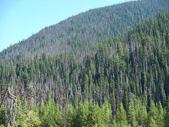 Хвойные леса стали жертвой соснового лубоеда (фото Jonhall / Wikimedia Commons).