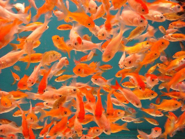 Золотые рыбки оказались более восприимчивы к музыке, чем считали люди (фото Spider.Dog/Flickr).