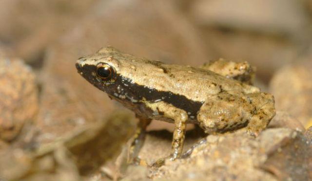 Длина тела лягушки Гардинера составляет всего 11 миллиметров (фото Renaud Boistel/CNRS).