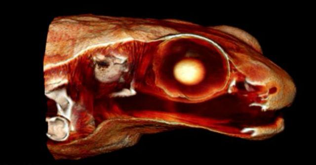 Трёхмерная модель головы лягушки Гардинера (иллюстрация Renaud Boistel/CNRS).
