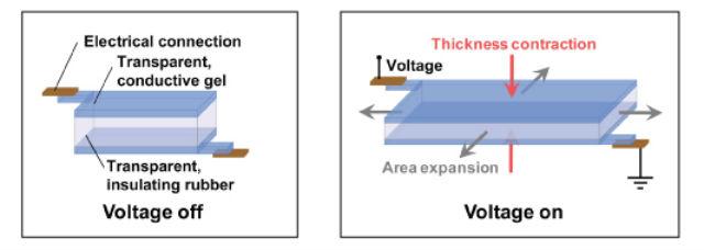 Динамик состоит из тонкого пласта резины, расположенного между слоями геля. Протекание зарядов заставляет динамик вибрировать, благодаря чему он воспроизводит звуки всего спектра слышимых частот (фото Christoph Keplinger, Jeong-Yun Sun).