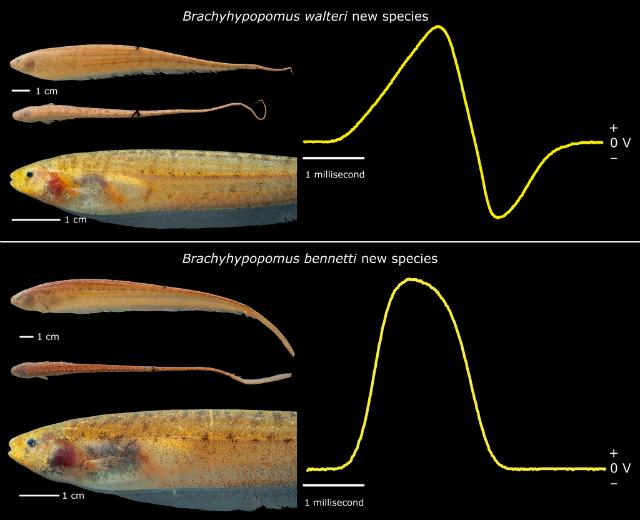 Два новых вида электрических рыб (иллюстрация John P. Sullivan, PhD, Cornell Laboratory of Ornithology).