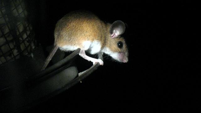Исследования показывают, что мозг некоторых животных (таких как эта белоногая мышь) увеличился из-за индустриализации среды их обитания (фото Rob Ireton/Flickr).