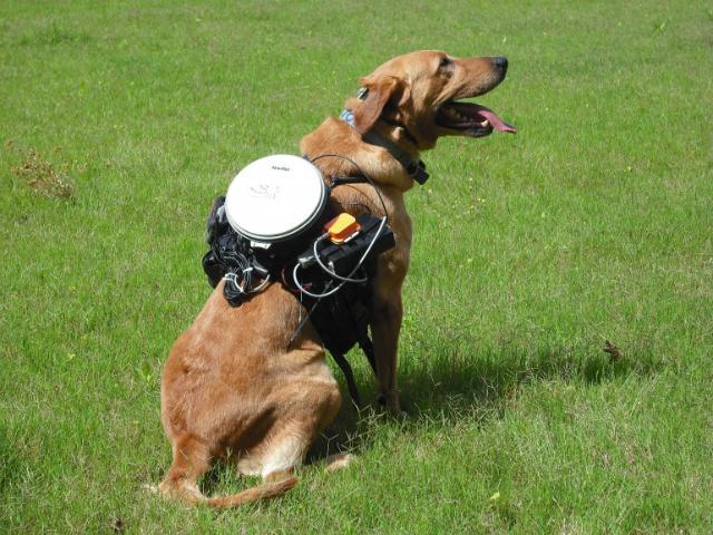 Собака, экипированная новой системой управления (фото Auburn University).
