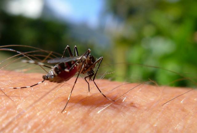 Соединения, способные заблокировать обоняние комаров, содержатся в организме человека (фото John Tann/Flickr).
