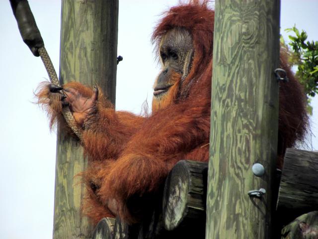 Орангутаны способны планировать свои маршруты, о чём и сообщают собратьям (фото cuatrok77/Flickr).