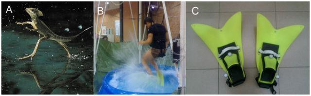 В рамках эксперимента добровольца ненадолго превратили в ящерицу-василиска, способную ходить по воде. Сделали это с помощью специальных ласт и симулятора сниженной гравитации (фото PLOS one).