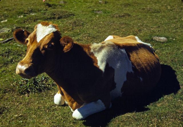 Чем дольше корова лежит на земле, тем больше вероятность того, что она скоро встанет. Чтобы сделать такой вывод, учёным понадобился ни один год (фото Wikimedia Commons).