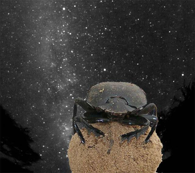Зачем изучать навигационные способности навозных жуков? Чтобы потом построить самостоятельно ориентирующихся в ночи роботов! (фото Emily Baird)