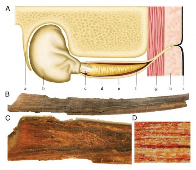 Иллюстрация образования серной пробки в ухе кита (иллюстрация Michelle Berman-Kowalewskic/Santa Barbara Museum of Natural History).