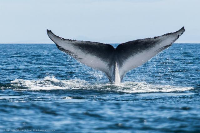 Для синего кита ушная сера становится чем-то вроде идентификационной капсулы, в которой хранится вся его жизнь (фото Mike Bair/Flickr).