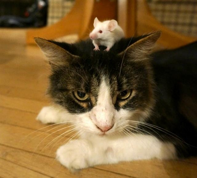 Разбираясь в особенностях природной игры в кошки-мышки, учёные получают возможность защитить человека от паразитов (фото Wendy Ingram, Adrienne Greene).