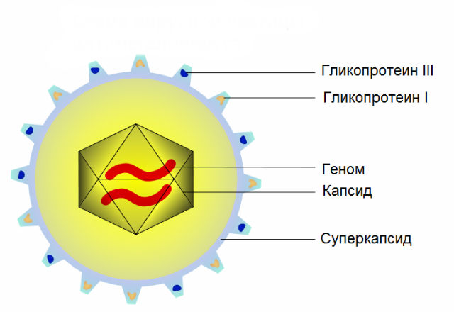 Схематичное представление структуры цитомегаловируса (иллюстрация Eruvanda/Wikimedia Commons).
