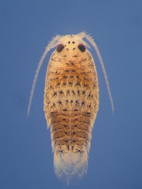 Морская ракообразная вошь Eurydice pulchra также обладает двумя независимыми биологическими часами: одни настроены на смену дня и ночи, другие – на приливы и отливы (фото David Wilcockson/Prifysgol Aberystwyth University).