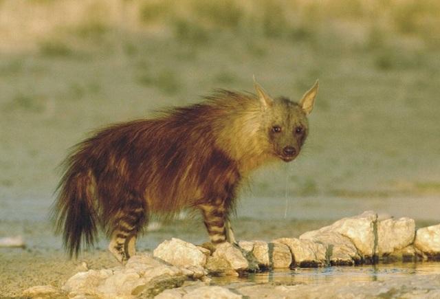Волосы обнаружены в окаменелых экскрементах бурой гиены – не самого агрессивного представителя семейства гиеновых (фото southafrica.net/Wikimedia Commons).