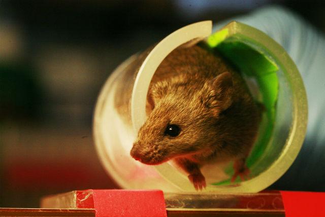 Пересаженные железы отлично прижились в организме мышей (фото Rama/Wikimedia Commons).