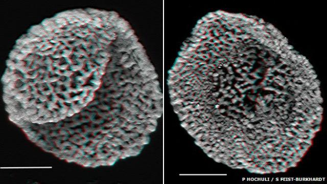 Ископаемые оболочки пыльцевых зёрен стали для учёных свидетельством в пользу того, что цветковые растения появились во времена среднего триасового периода (иллюстрация P. Hochuli, S. Feist-Burhardt).