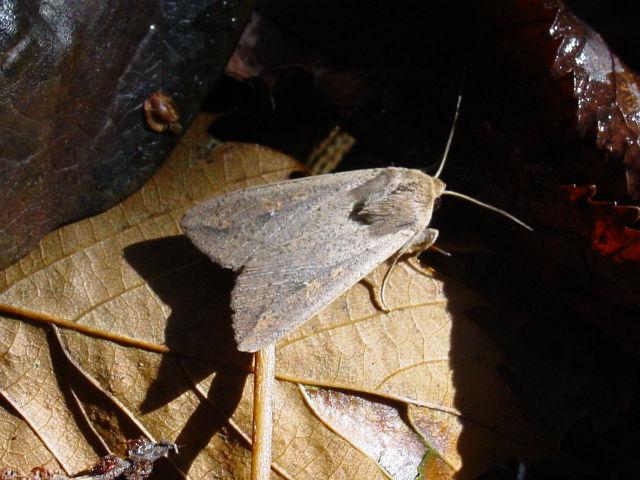 Совка вида Pseudaletia unipuncta не любит секс накануне дождя (фото Luis Miguel Bugallo Sanchez/Wikimedia Commons).