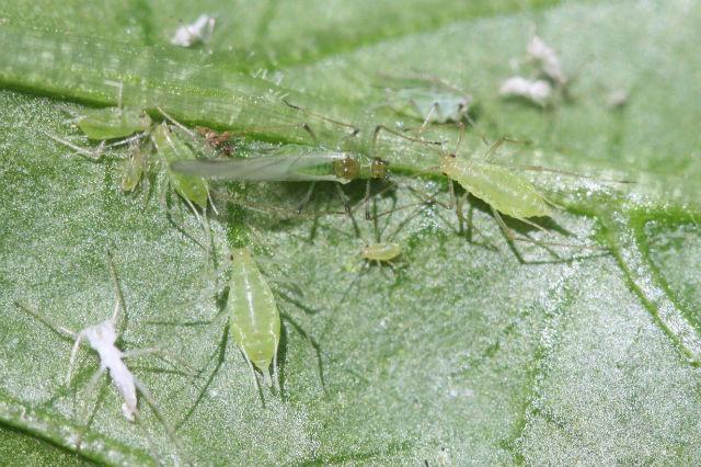 Большая картофельная тля и ещё, как минимум, два вида насекомых чувствуют снижение атмосферного давления перед дождём (фото Whitney Cranshaw, Colorado State University/Wikimedia Commons).