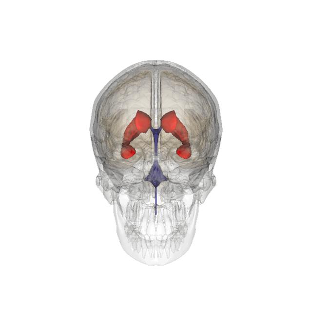 Нейронные стволовые клетки берутся из боковых желудочков головного мозга (иллюстрация Wikimedia Commons).