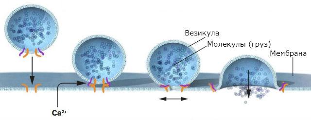 Ротман выяснил, что белковый комплекс заставляет везикулы сливаться с целевой мембраной. Белки на везикуле соединяются со специфическими комплементарными им белками на поверхности мембраны. Груз попадает точно по месту назначения (иллюстрация из пресс-релиза Нобелевского комитета).