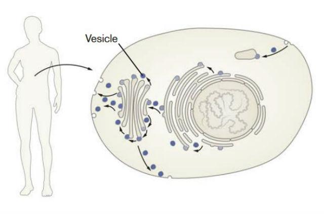 Каждая клетка человеческого тела имеет свою собственную очень сложную транспортную систему. Каждый органоид – как город на карте, а мембрана клетки как граница страны. Производимые молекулы расфасовываются по везикулам, которые развозят их как грузовики по дорогам (иллюстрация из пресс-релиза Нобелевского комитета).