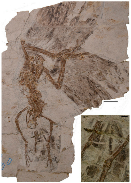Ископаемые останки необычной птицы (фото O'Connor et al/Chinese Academy of Sciences).