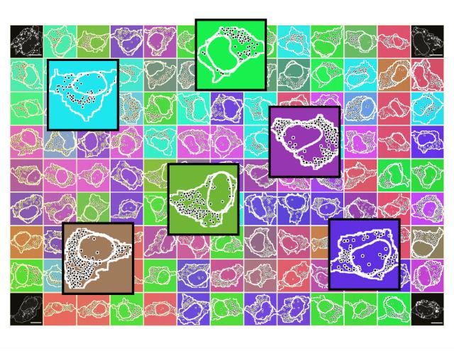 Образец клеточной линии HeLa с выделенными отдельными молекулами-транскриптами (иллюстрация Nico Battich).