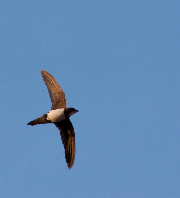 Белобрюхий стриж способен совершить самый длительный беспересадочный перелёт. Эта птица похожа на ласточку, размах её крыльев составляет около 57 сантиметров, а длина тела – около 20 сантиметров (фото pau.artigas/Flickr).
