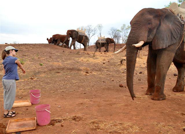 За долгие годы взаимодействия с человеком слоны научились пониманию невербального языка (фото Richard Byrne, University of Saint Andrews).