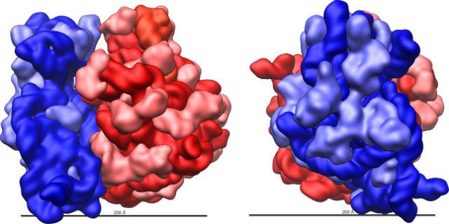Рибосома кишечной палочки. Синий цвет обозначает большую субъединицу, красный — малую (иллюстрация Vossman/Wikimedia Commons).