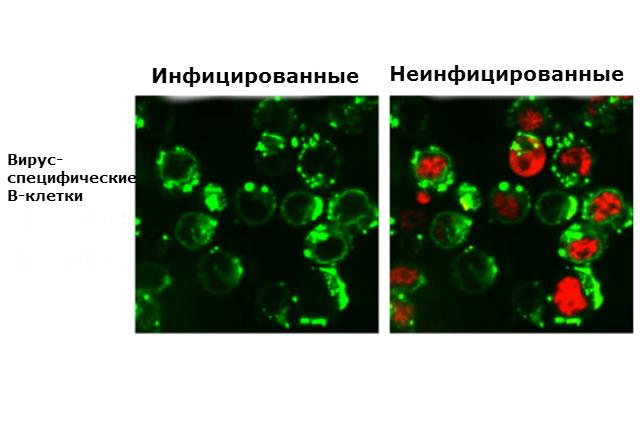 Реакция B-клеток на вирус гриппа. Слева клетки зелёные, что говорит о том, что они пока ещё не заражены вирусов. Справа красный цвет сигнализирует о том, что грипп инфицировал клетки (иллюстрация Nature).