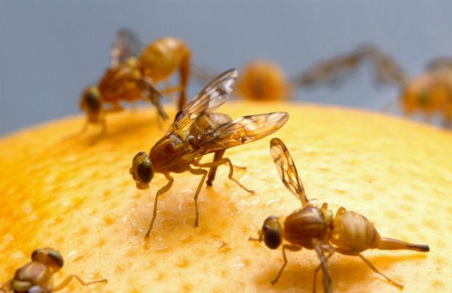 Плодовые мушки без труда могут различать запахи цитрусовых (фото Wikimedia Commons).