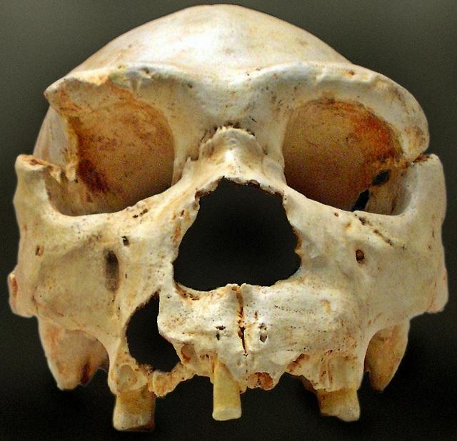 Согласно выводам учёных гейдельбергский человек (череп на фото) не годится на роль общего предка (фото José-Manuel Benito/Wikimedia Commons).