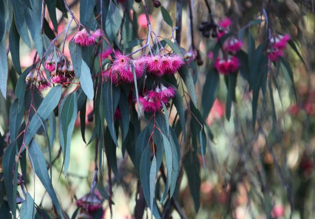 Австралийский эвкалипт – дерево, чьи листья могут содержать драгоценный металл (фото Jitze Couperus/Flickr).