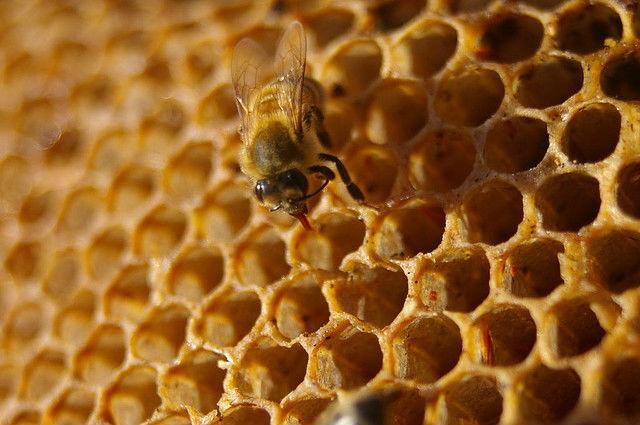 Пчелиный яд является одним из наиболее распространённых аллергенов (фото Peter Shanks/Flickr).