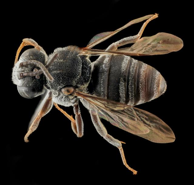 Массовая гибель динозавров чуть было не уничтожила всех пчёл, что отразилось и на разнообразии цветковых растений (фото USGS Bee Inventory and Monitoring Lab/flickr).