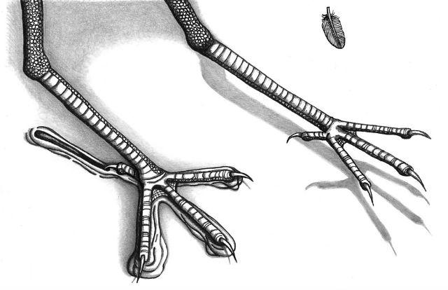 Свои следы древние пернатые оставили во время приземления (иллюстрация Anthony Martin).