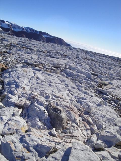 В отложениях триаса Антарктиды палеонтологи обнаруживают окаменелые листья и стволы деревьев (фото Patricia Ryberg).