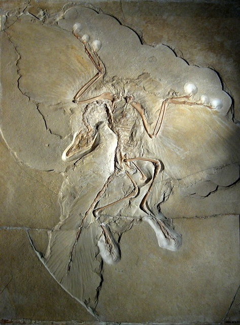 Окаменелости археоптерикса, хранящиеся в музее естествознания Берлина (фото H. Raab/Wikimedia Commons).