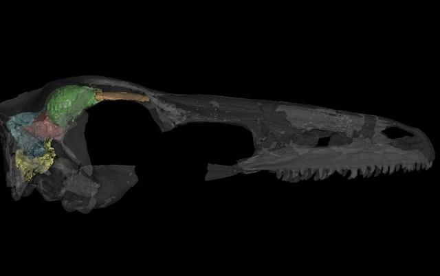 Сравнение мозга археоптерикса с серым веществом других животных (Занабазар на снимке) показал, что древняя птица оказалась примитивнее некоторых динозавров (изображение A. Balanoff/AMNH).