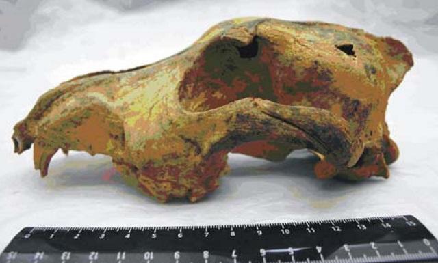 Учёные использовали образцы ДНК археологических находок. На фото череп волка из Сибири, возраст которого составляет 32-33 тысячи лет (фото Nikolai D. etal/WikimediaCommons).