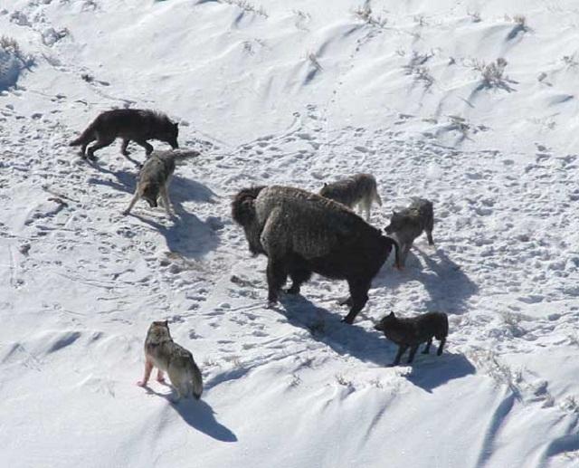 Волки были одомашнены не менее 18 тысяч лет назад охотниками-собирателями. Возможно, звери участвовали в человеческой охоте и помогали загонять добычу (фото Doug Smith/Wikimedia Commons).